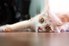 Cat lying on an floor. Stock Images