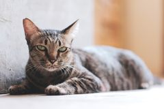Cat lying on the floor royalty free stock image