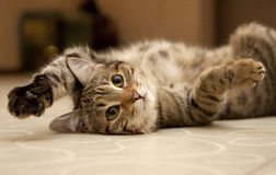 Cat. Lying on the floor royalty free stock images