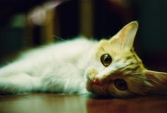 Cat lying on the floor looking straight to the Royalty Free Stock Photos
