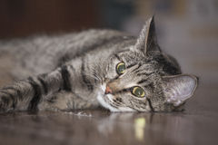 Cat lying on an floor Stock Images