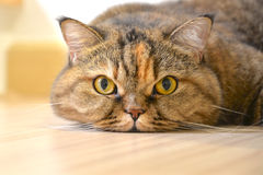 Cat lying on the floor Royalty Free Stock Images