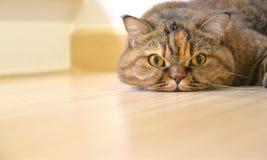 Cat lying on the floor Stock Photo