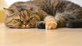 Boring cat lying on the floor Royalty Free Stock Photography