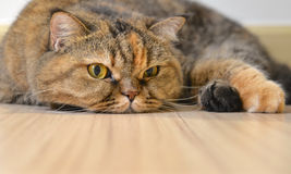 Cat lying on the floor Stock Photography