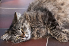 Cat lying on floor Stock Photography