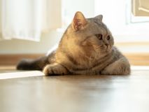 Cat is lying on the floor, gaze is directed to the side, a beam. Of sunlight from the window Royalty Free Stock Photography