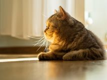 Cat is lying on the floor, gaze is directed to the side, a beam. Of sunlight from the window, contour light, copy space Stock Photo
