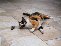 Cat lying on the floor and looking at the dead bird. Female Tortoiseshell and white cat lying on the floor and looking at the bird that it just hunted Stock Photography