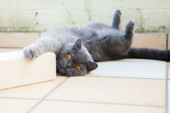 Cat lying on a floor with paws up Stock Images