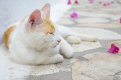 Cat lying at the floor with pink flower petals Royalty Free Stock Images