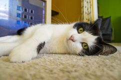 Cat lying on the floor Stock Image