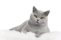 Cat lying on fur Royalty Free Stock Photography