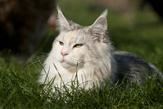 Cat lying in gras Stock Images