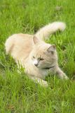 Cat lying in the grass stock photography