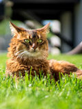 Cat lying on grass. Beautiful somali cat lying on the grass, looking in the distance Stock Photo