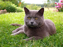 Cat lying in the grass Royalty Free Stock Photo