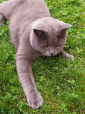 Cat lying in the grass Royalty Free Stock Images