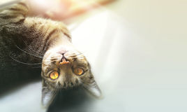 Cat lying on gray background. A cat lying on gray background royalty free stock photos
