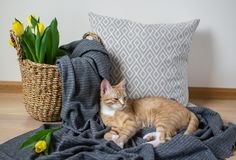 Cat Lying on the Gray Plaid Indoor, Cosiness. Relax, Spring Time royalty free stock image