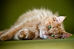 Cat lying on green backdrop Royalty Free Stock Images