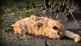 Cat lying on the ground and basked Stock Images