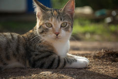 Cat lying on ground looking at camera Royalty Free Stock Images