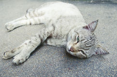 Cat lying on the ground. White striped cat lying on the ground Stock Images