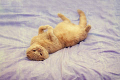 Cat lying on her back on a blanket Royalty Free Stock Image