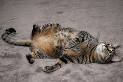 Cat lying on her back Stock Photography
