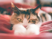Cat lying looking behind his paws Royalty Free Stock Image