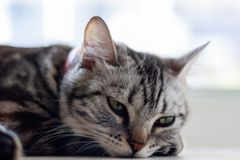 Cat lying and looking someone on window. At home royalty free stock photography