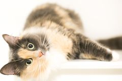 A cat is lying and looking at you. A  beautiful fluffy cat is lying and looking at you Stock Image