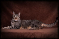 Cat lying majestic. Tiger Cat lying majestic in Front of a brown background Stock Images