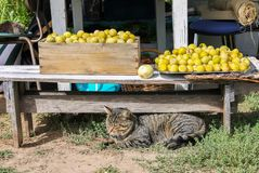 A cat lying near the harvest of yellow sweet plums in a farm yard royalty free stock image