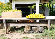 A cat lying near the harvest of yellow sweet plums in a farm yard royalty free stock photo