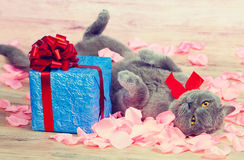 Cat lying near the gift Royalty Free Stock Images