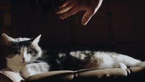 Cat Lying op een Laag die zijn Haren verliezen wanneer iemand het komt vleien stock videobeelden