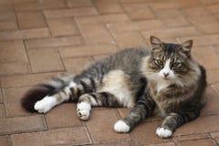 Cat Lying Outdoors na pavimentação do tijolo Foto de Stock Royalty Free
