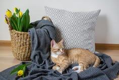 Cat Lying på Gray Plaid Indoor, Cosiness royaltyfri bild