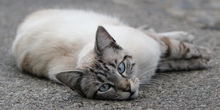Cat lying on the pavement Royalty Free Stock Image