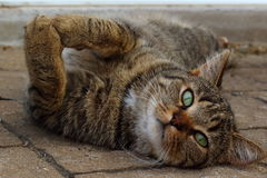 Cat lying on the pavement looking at the camera. With his green eyes Royalty Free Stock Photo