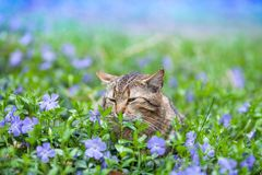 Cat lying on the periwinkle lawn. Cute tabby cat lying on the periwinkle lawn Stock Image