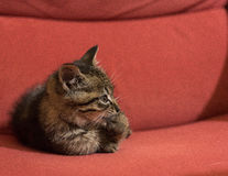 Cat lying on the red sofa. Portrait of a striped cat puppy on a red velvet couch royalty free stock image