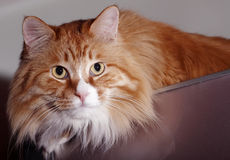 Ginger cat Royalty Free Stock Image
