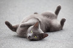 Cat lying on road Royalty Free Stock Image