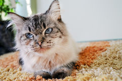 Cat is lying on a rug. White and grey cat is lying on a rug in a living room Stock Photos
