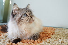 Cat is lying on a rug. White and grey cat is lying on a rug in a living room and looking inquisitively Royalty Free Stock Photos