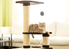 Cat lying on a scratching post, on living room background. Royalty Free Stock Image