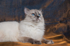 Cat lying on shiny bronze fabric. Adult Ragdoll cat against shimmering blue/gold background Royalty Free Stock Photos